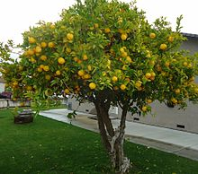 Lemon tree - Suurlemoenboom