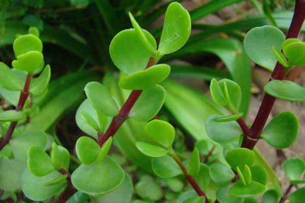 Portulacaria-afra-stem-and-leaves Woody Stem Plant With House on plants with photosynthesis, black spots on pepper plant stems, plants with stomata, woody and herbaceous stems, plants with seeds, plants with sticks, plants with leaves, plants with husks, plants woody stems tree, plant roots and stems,