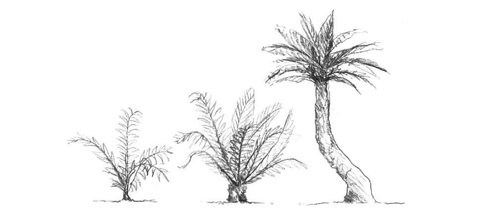Cycad - sun trees sketch