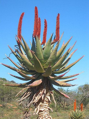 aloe ferox bitter aloe bitteraalwyn sun trees. Black Bedroom Furniture Sets. Home Design Ideas