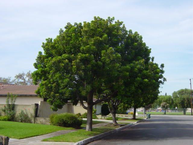 Harpephyllum Caffrum Wild Plum Wildepruim Sun Trees