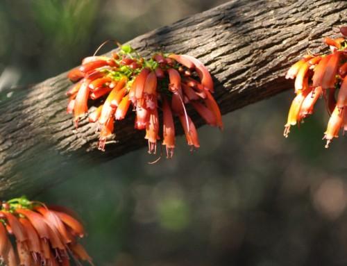 Halleria lucida – Tree fuschia – Notsung