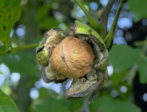 Juglans regia – Common walnut – English walnut