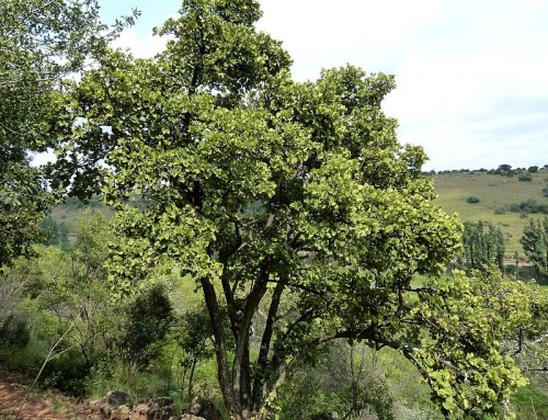 Dombeya rotundifolia – wild pear – drolpeer