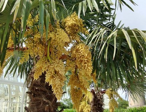 Trachycarpus fortunei – Chinese Windmill palm