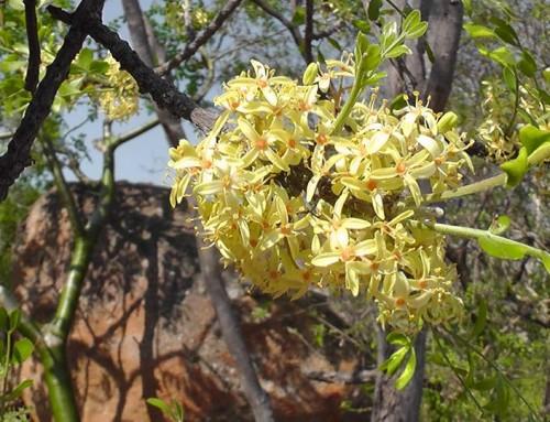 Ptaeroxylon obliquum – Sneezewood – Nieshout – Umthathe