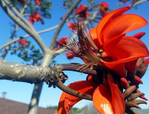Erythrina caffra – Coast coral tree – Kuskoraalboom – Umsintsi