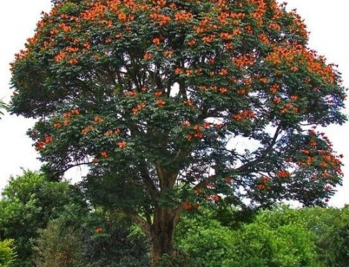 Spathodea campanulata – African tulip tree – Flame of the forest