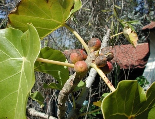 Ficus abutilifolia – large leaved rock fig – Grootblaarrotsvy