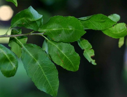 Spirostachys africana – Tamboti – Tambotie