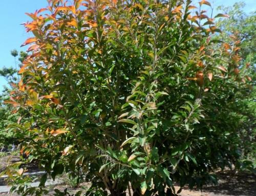 Citharexylum spinosum – Fiddlewood