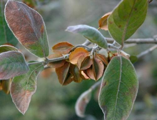 Combretum molle – Velvet bushwillow – Fluweelboswilg – umBondwe-omhlope