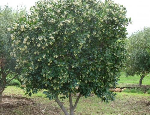 Curtisia dentata – Assegaaihout – Dogwood – Assegai