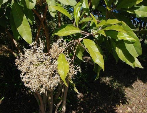 Nuxia floribunda – Forest elder – Bosvlier – umHlambandlazi
