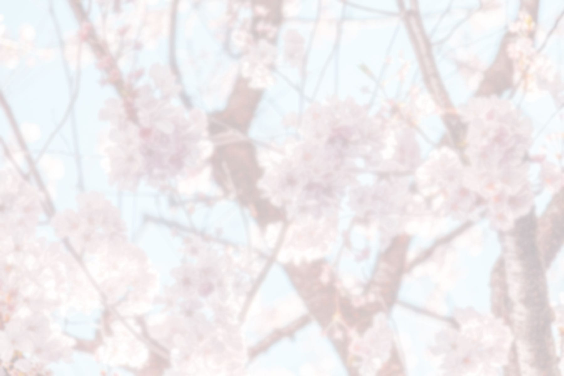 Blurred pink blossoms