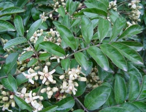 Trichilia drageana – Forest Natal mahogany – Rooiessenhout