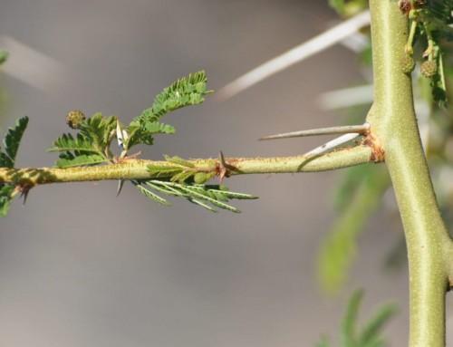 Vachellia xanthophloea – Fever tree – Koorsboom