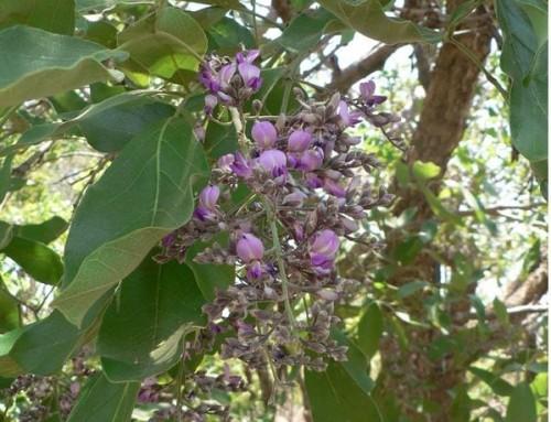 Philenoptera violacea–Apple-leaf – Appelblaar–Umbhandu