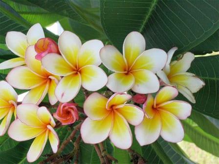 Plumeria rubra – Frangipani
