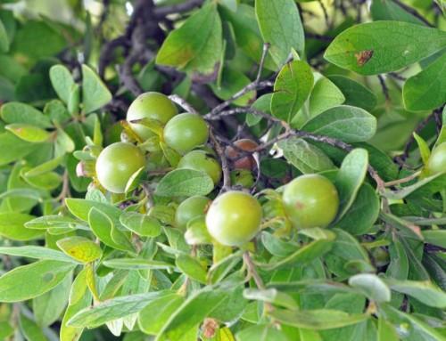 Diospyros lycioides – Bluebush – Bloubos