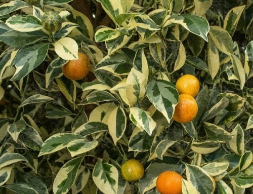 X Citrofortunella microcarpa – Citrus Calamondin