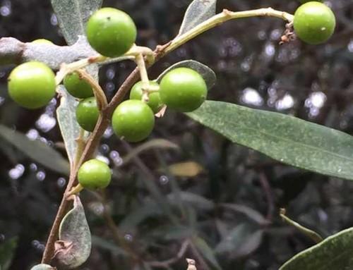 Olea europaea subsp africana – Wild olive – Olienhout