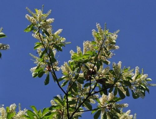Terminalia phanerophlebia – Lebombo cluster-leaf – Lebombotrosblaa – Mambonjwane