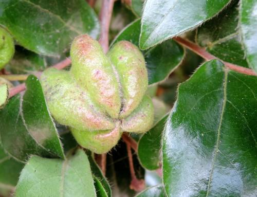 Cryptocarya latifolia – Broad-leafed quince – Breeblaarkweper – Umthugwa