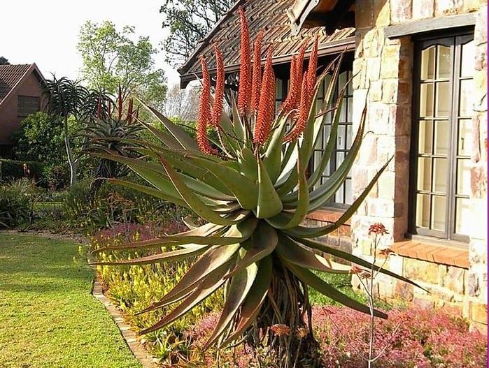 Aloe ferox – Bitter aloe – Bergaalwyn – iKhala
