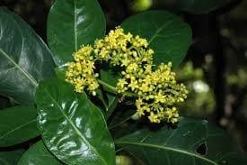 Psychotria capensis – Black Bird Berry – Voelbessie – Isithibala
