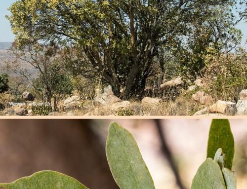 Schrebera alata – Wild jasmine – Wildejasmyn – Mulungwi