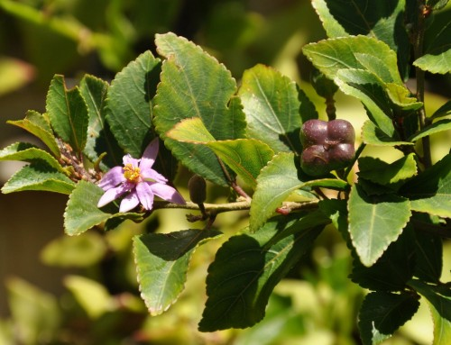 Grewia occidentalis – Cross-berry – Kruisbessie – umNqabaza