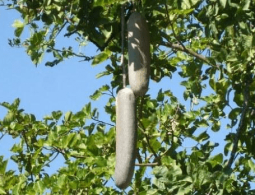 Kigelia africana – Sausage tree – Worsboom – umFongothi