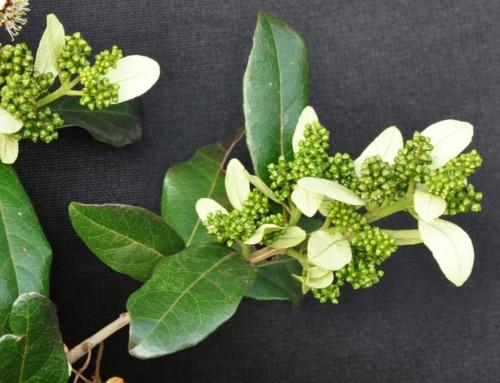 Combretum kraussii – Forest bushwillow – Bosvaderlandswilg – Umdubu-wehlathi