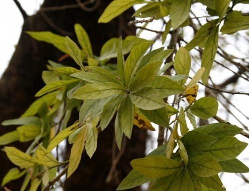 Combretum erythrophyllum – River bushwillow – Vaderlandswilg – Umdubu