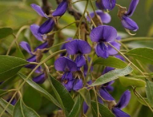 Bolusanthus speciosus – Tree wisteria – Vanwykshout