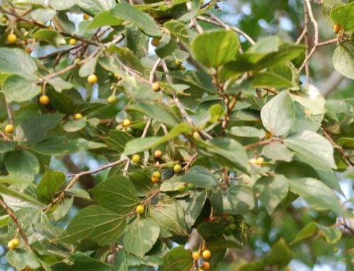 Celtis africana – White stinkwood – Witstinkhout – Mpopano