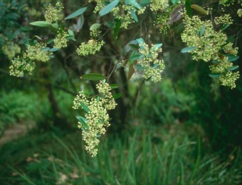 Noltea africana – Soap dogwood – Seepblinkblaar – Umaluleka