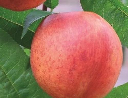 Prunus persica var nusipersica – Nectarine