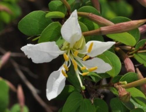 Cordia caffra – Septee tree – Septeeboom -Umduda