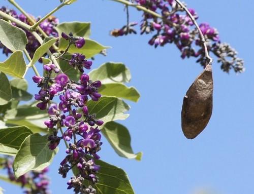 Philenoptera violacea – Apple leaf – Appelblaar